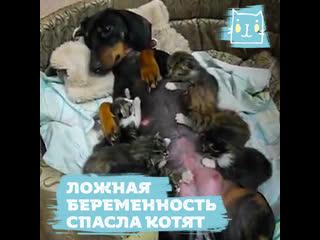 Такса стала приемной мамой для котят