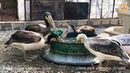 Игра пеликанов. Тайган. Крым. The game of pelicans. Taigan Crimea.
