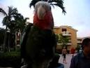In Cuba -- talking Parrot