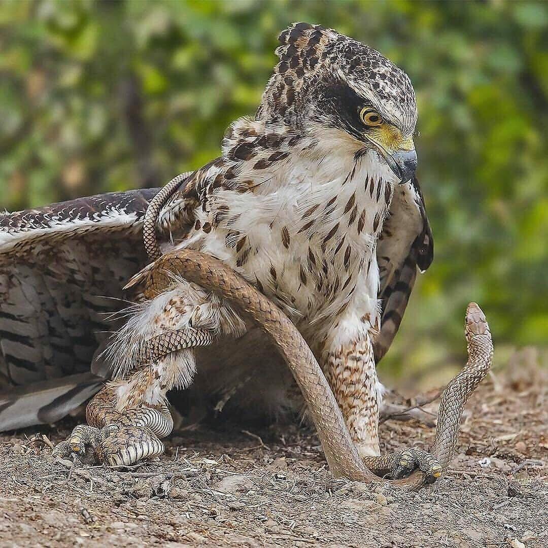 Хохлатый орел против крысиной змеи