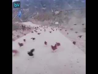 Куриный апокалипсис