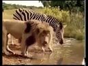 Животные Африки Водопой Перемирие Лев и Зебра Страус гоняет львицу Павиан шугает гиен А судьи где