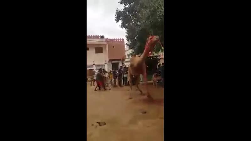 Бесовский биоробот убивает верблюда и погибает от его пинка