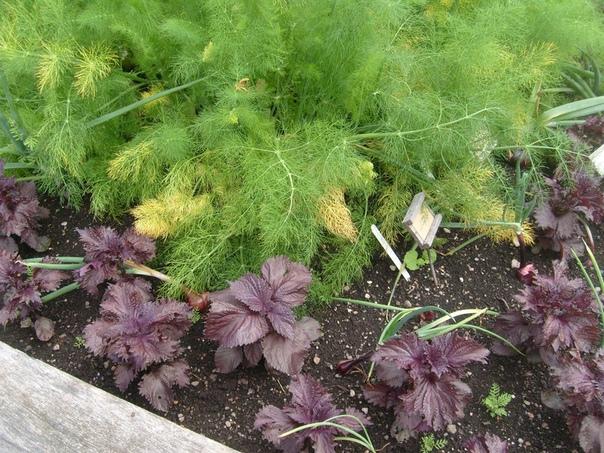 Почему желтеет укроп на грядке Укроп очень распространённая пряная зелень, на большинстве садовых участков растущая практически как сорняк. Он справедливо считается неприхотливой в уходе