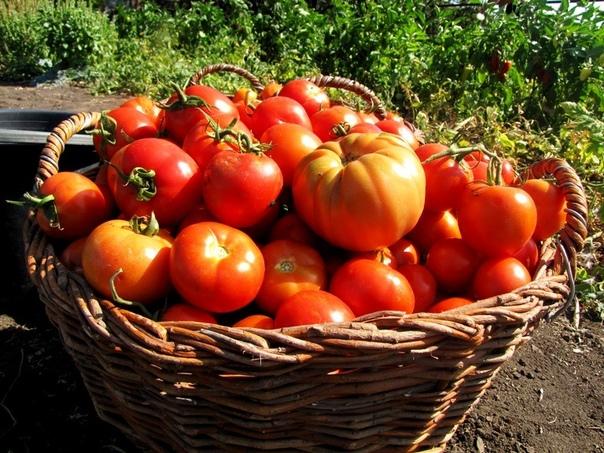 Как получить по 50-60 помидоров с каждого куста