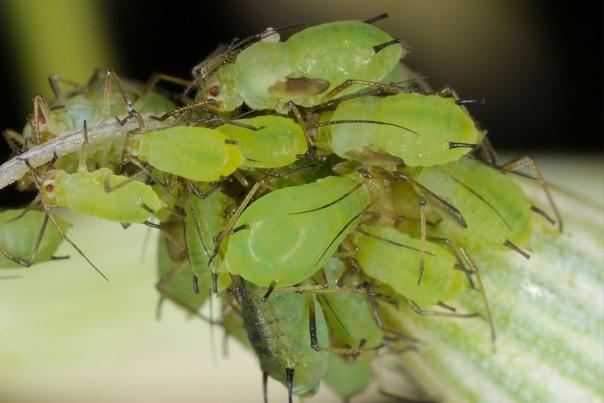 От тли и других вредителей поможет «Биотлин». Весна и начало лета горячая пора для дачников. Столько всего нужно успеть сделать, чтобы к осени получить богатый урожай, что рук порой не хватает.