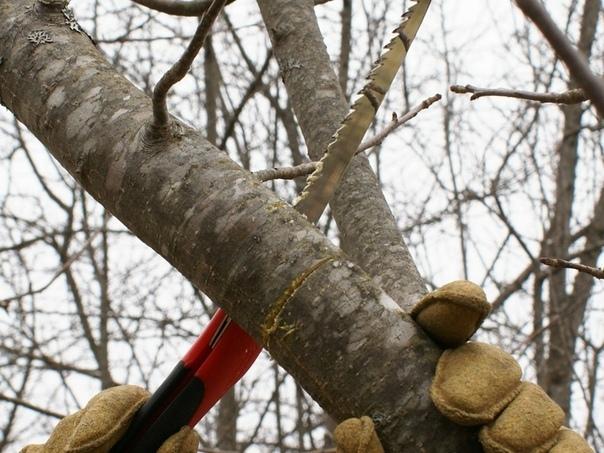 Тонкости осенней обрезки плодовых деревьев.