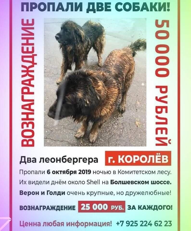 ПРОПАЛИ СОБАКИ 2 -ЛЕОНБЕРГА. г. Королёв! Прошу помочь