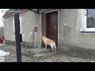 Собака пришла домой и звонит в дверь -