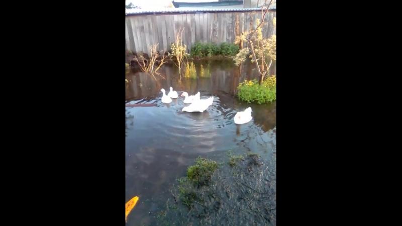 мои гуси-лебеди