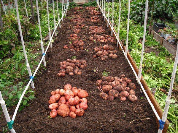 9 советов по выращиванию картофеля 1. Чем меньше клубень картофеля, тем крупнее он дает клубни, и наоборот. Поэтому лучше всего сажать клубни средней величины, либо разрезать большие клубни так