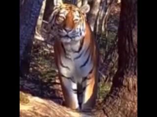 Амурский тигр попал под прицел скрытой камеры