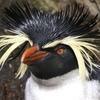 Симпатифный Пингвина