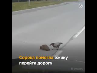 Как сорока помогла ёжику перейти дорогу