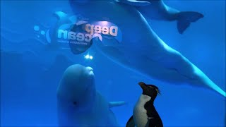 Shedd Aquarium Penguins Take Field Trip To Meet Beluga Whales