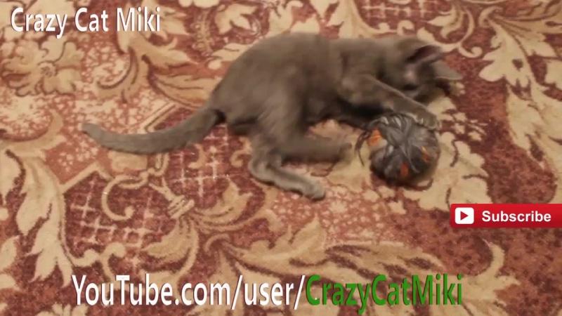 Русская голубая кошка,Кот играет, приколы проживотны