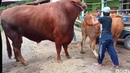 Buffalo India Vs Bill South Africa council meeting update bhains bhains भैंस भैंस big