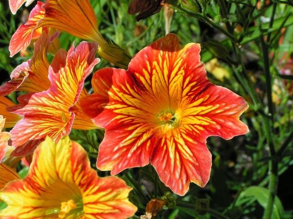Сальпиглоссис - выращивание из семян Сальпиглоссис красивый и нетребовательный в уходе садовый цветок, который давно пользуется у садоводов популярностью. Как и большая часть подобных растений,
