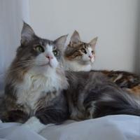Норвежские лесные кошки|питомник Skogkat Glamurr