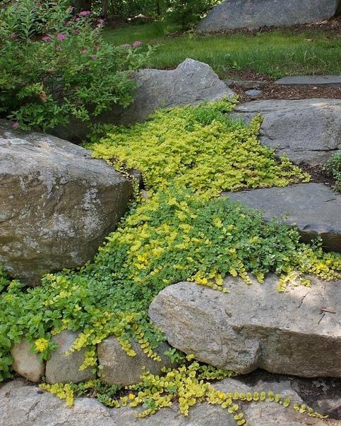 Вербейник монетчатый может использоваться как почвопокровное и отлично подходит для оформления склонов и садовых