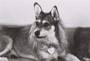 Собака Джинни, ушедшая из жизни в 2005 году, прославилась тем, что очень любила кошек.