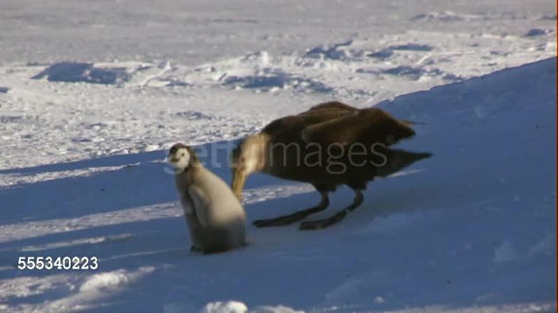 Гигантский буревестник пытается заклевать птенца императорского пингвина